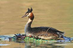 Weibchen auf dem Floß. © A-M.Kölbach