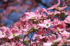 似た花:ハナミズキ(別ページに移動します)