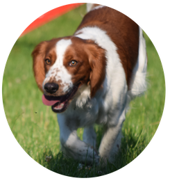 HAT, Hundealltagstauglichkeit, Hundeprüfung, Hundeschule Animal Train, Hundetraining, Linz Land, Neuhofen, Spaniel