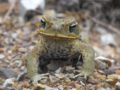 Cane Toad, Agakröte, Australien