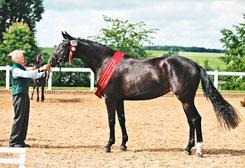 Decurio-Tochter Darling wurde Siegerstute bei den 3-jähr. Sportpferden (Foto: KW)