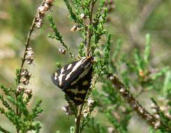 Wegerichbär   Männchen
