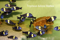 Tropheus, Tropheus duboisi, Tropheus duboisi Maswa