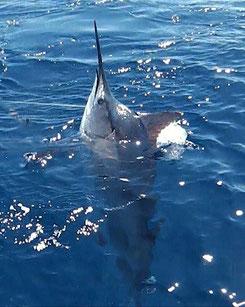 Seychellen angeln Big Game Marlin im Wasser