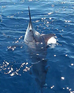 Seychelles fishing Marlin close