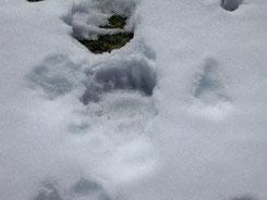 Huella de osos pardo en la nieve en la Cordillera Cantábricas