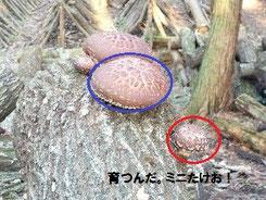 椎茸の収穫