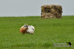 Wildlife photo hide for great bustards