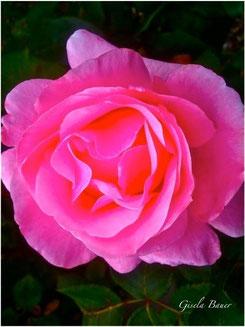 Blätterwerk der Rose