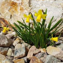 Cyclamineus-Narzisse 'Tete-a-Tete' im Steingarten