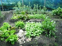 自家栽培の畑の野菜