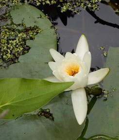 Water Lilies were in Full Bloom at the Pond