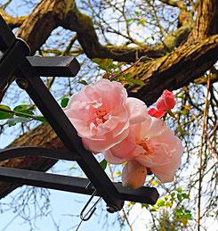 duftende Rosenblüte