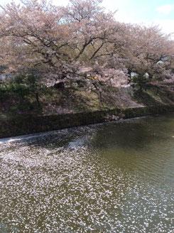 春爛漫、桜満開。顧問先の花見に飛び入り参加