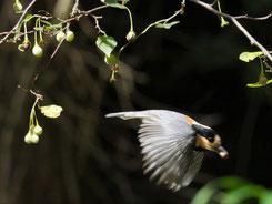 写真 5  エゴノキの実を持ち去るヤマガラ