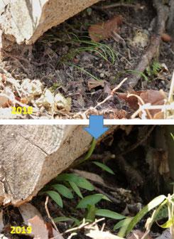 写真6.コドラート調査箇所以外での昨年の実生の成長状況
