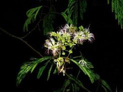 ネムノキの花(夜)