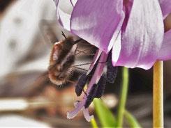 写真3.ビロウドツリアブの吸蜜
