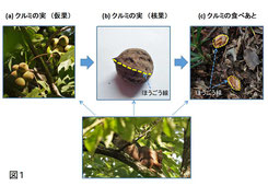 図1. リスがクルミの実を食べる手順