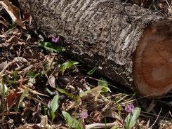 写真2.倒木の下で開花するカタクリ