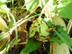 写真8.カタクリの実に群がって種を運び出すアリ(2017年)