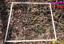 写真7.今年の実生と昨年の開花個体の分布