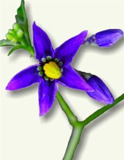 Flor de la Dulcamara