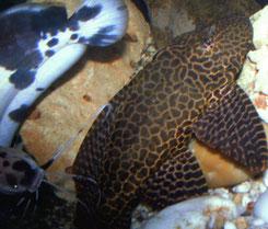 Clarias batrachus & Pterygoplichthys gibbiceps