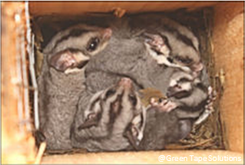 Family of Sugar Glider in a nest box