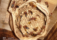 写真3 乗っ取ったキイロスズメバチの巣で 営巣するチャイロスズメバチ(撮影 vespaさん)