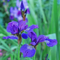Iris sibirica 'Elfe'