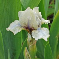 Iris barbata-nana 'Mrs. Nate Rudolph'
