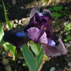 Iris barbata-nana 'Little Black Belt'