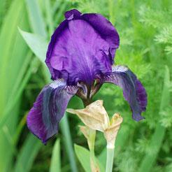 Toskanische Iris, lilablau