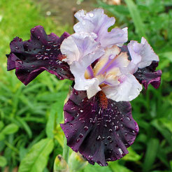 Iris barbata-elatior 'Evening Drama'