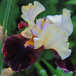 Iris barbata-elatior 'Finalist'