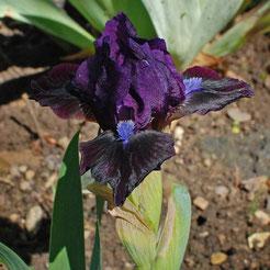 Iris barbata-nana 'Dark Vader'