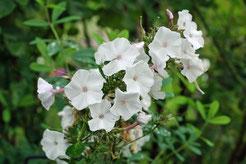 Phlox paniculata 'Belosnezka'