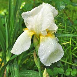 Iris 'Lugano'