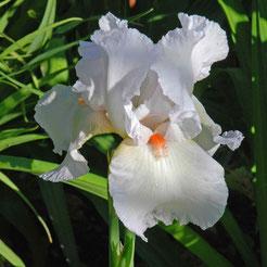 Iris barbata-elatior 'Neige de Mai'