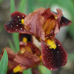 Iris barbata-nana 'Little Buccaneer'