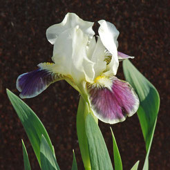 Iris barbata-nana 'Making Eyes'