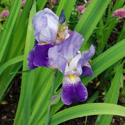 Historische Iris 'Eckesachs'