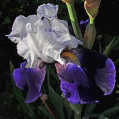 Iris barbata-elatior 'Night Editon'