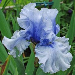 Iris barbata-elatior 'Miltizer Petticoat'