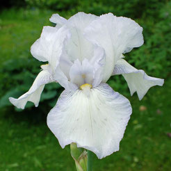 Iris barbata 'English Cottage'
