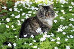 chat norvégien tabby assis dans fleurs
