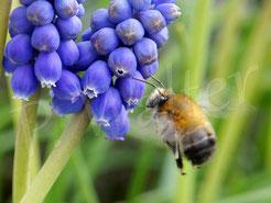 Bild: Frühlings-Pelzbiene, Anthophora plumipes,  Blütenbesuch an einer Traubenhyazinthe