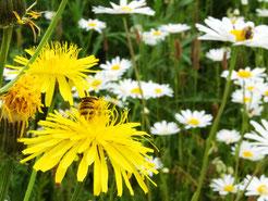 04.06.2019 : ein Weibchen der Gelbbindigen Furchenbiene am Wiesen-Pippau