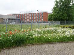 04.06.2019 : hier mal ein größerer Ausschnitt der Blumenwiese
